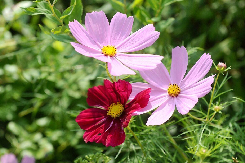 To popularna, ozdobna roślina ogrodowa. Marzec to idealny czas na jej wysiew
